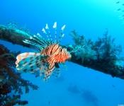 Rotfeuerfisch / Lion FIsh